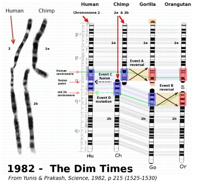 8702c 1982 chromosome2 small - El misterioso cromosoma 2 y nuestros origenes