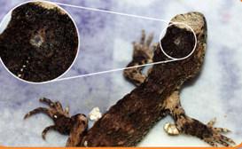 La glándula pineal: ¿nuestro tercer ojo? 3460b-parietaleyeoftuatara-1